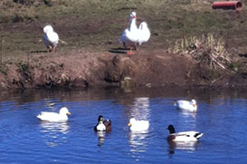 geese-and-ducks-enjoy-the-sunshine-02_Townend_Farm.jpg